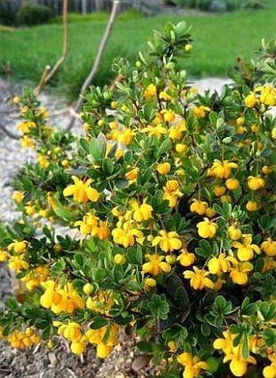 "Berberis buxifolia ""Nana"" ,"