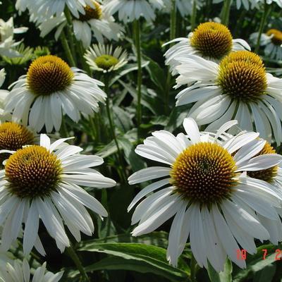 "Echinacea ""Primadonna White"" ,"