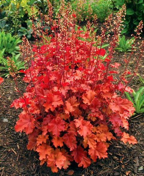 "Heuchera ""Peach Flambe"","