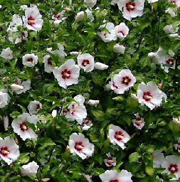 "Hibiscus syr.""Monstrosus"" ,"