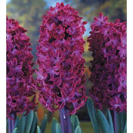 "Hyacinthus hybridus ""Woodstock"" 3 ks ,"