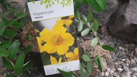 "Hypericum ""Hidcote"" ,"