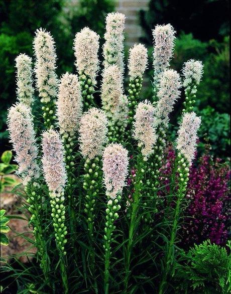 """Liatris spicata """"Alba"""" ,"""