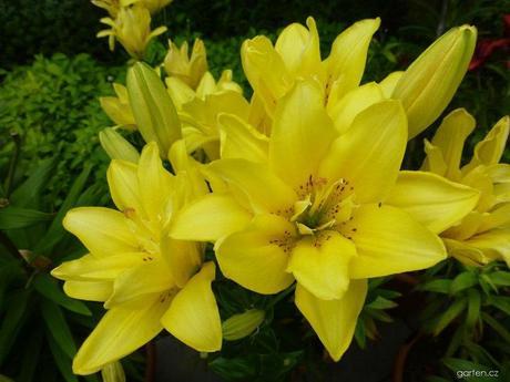 "Lilium hybridum ""Fata Morgana"" 1 ks,"