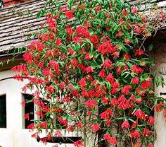 "Lonicera ""Red World"","