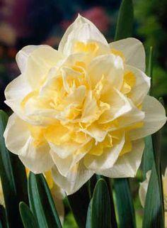 "Narcissu hybridus ""White Lion"" 4 ks ,"