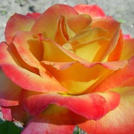 Ruža Alinka,