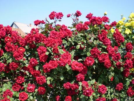 Ruža Don Juan,