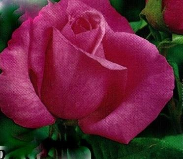 Ruža Passion,