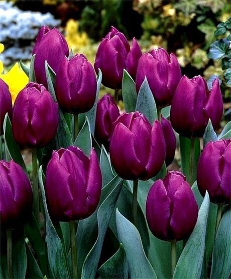 "Tulipa hybrida ""Blue Purple"","