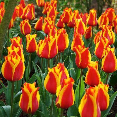 """Tulipa hybrida """"Cape Cod"""" 5 ks ,"""