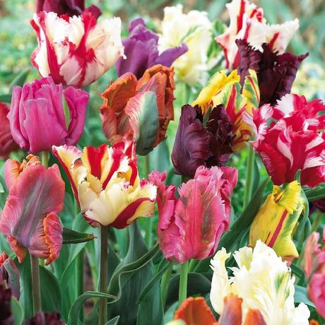 "Tulipa hybrida ""Mix"" 5 ks,"