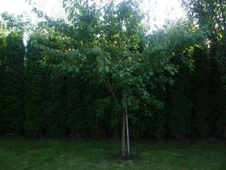 Strom marhuľa,