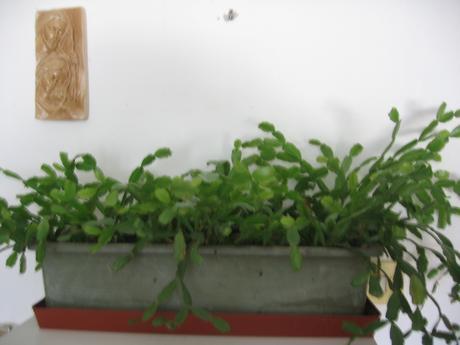 Vianočný kaktus,