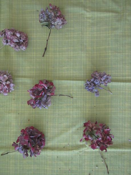 Sušená hortenzia-nové hlávky,