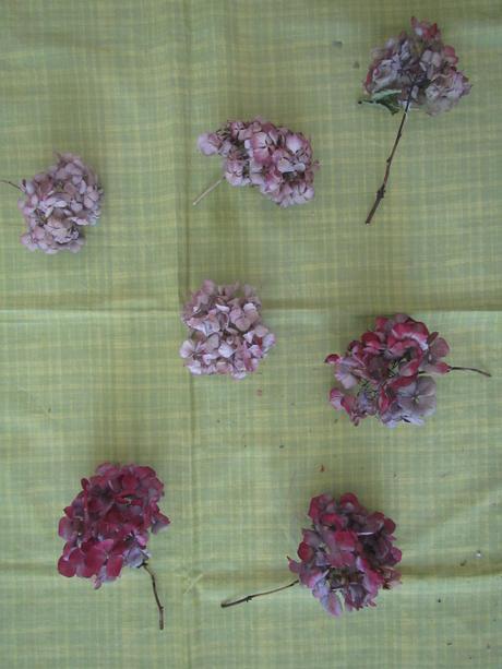 Sušená hortenzie-nové hlávky,