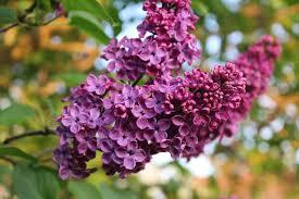 Orgovan fialovy,