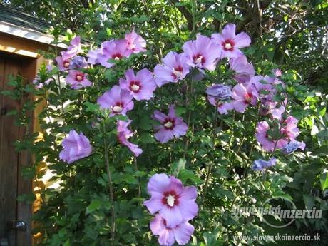 Rastlina Ibištek syrsky,
