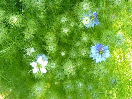 černuška damašská semená 500ks,