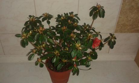 Azálea japonika- rododendron japonský ,