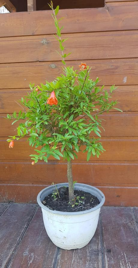 Granátovník bonsai-punica granatum,