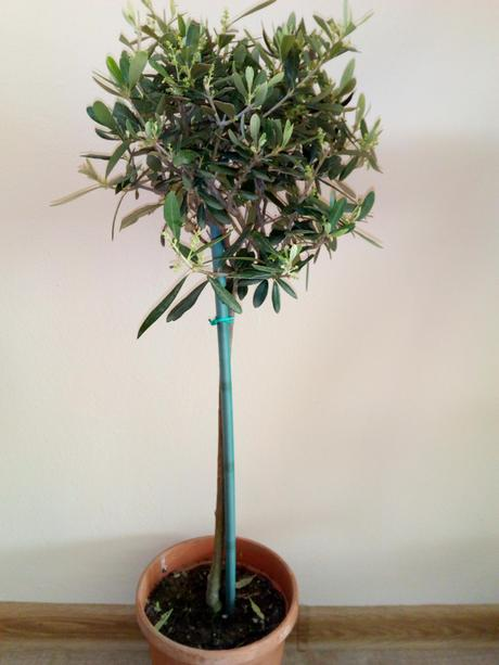 Olivovník na kmienku - Olea europaea,