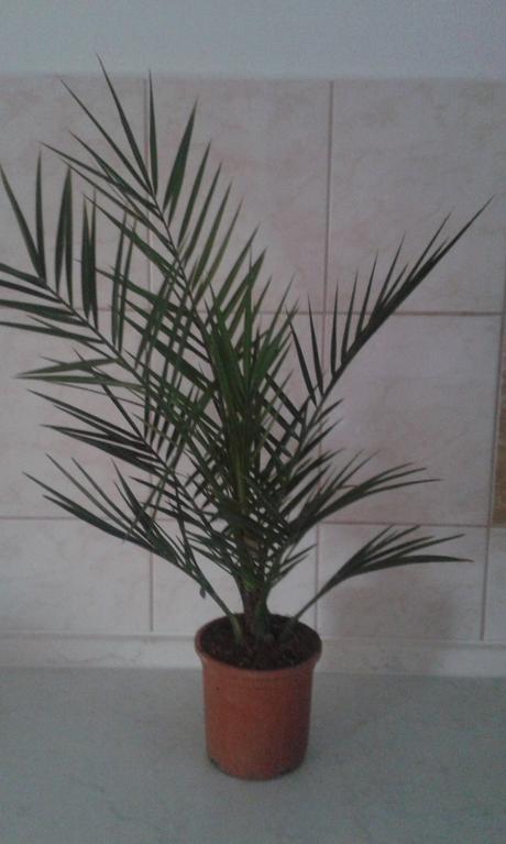 Phoenix canariensis- Datľovník ,