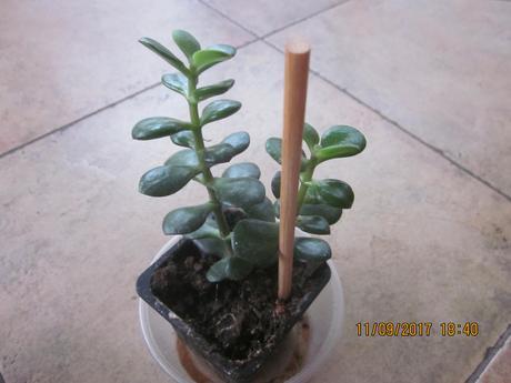 1xsukulent/tučnolist Crassula arborescens ,