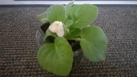 Africká Fialka Biely kvet   / 1x štep  ,