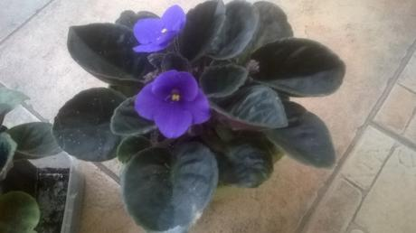 africka fialka fialová/mládnik,