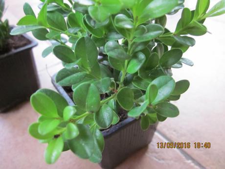 Buxus/krušpán sadenice cca 12cm,