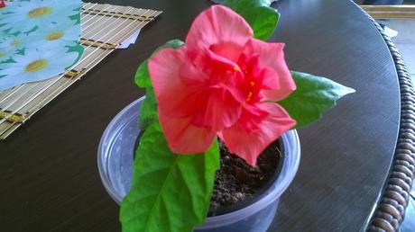 čínska ruža (ibištek čínsky )ružová farba ,