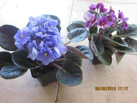 Fialka / bordovobiela  a fialová 2 farby mládniky ,