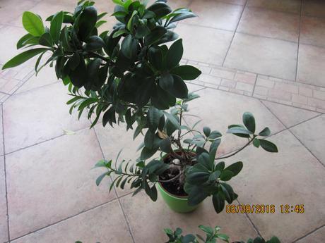 Ficus Microcarpa ginseng mládnik ,