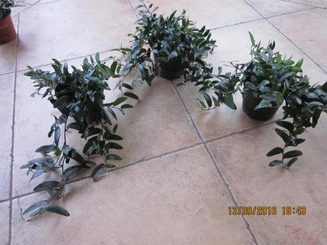 Izb kvet Ficus Anouk padavý ,