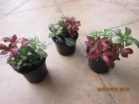 izb.kvet fitonia verschaffeltova mix ,