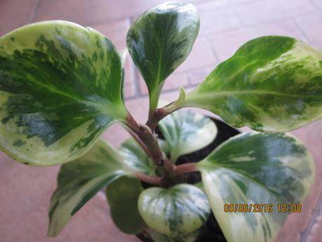 izb.kvet peperomia obtusifolia ,