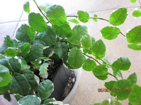 izb.kvietok Zeleno/biely  figovník popínavý/štep ,