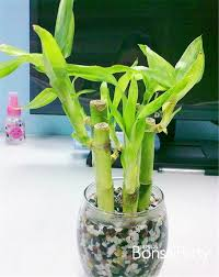 Izbova kvetinka bambus Lucky bamboo ,