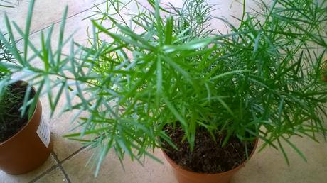 Izbový kvet Asparágus  ,