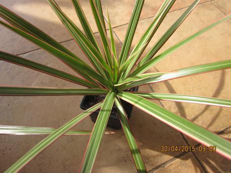 Izbovy kvet yuková palma slabučko zelená,