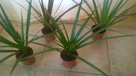 Izbovy kvet yuková palma tuho zelena pre maminu ,