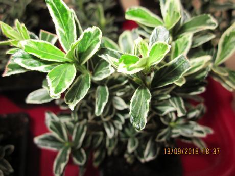 Japonský bršlen zelenobiely cca12cm,