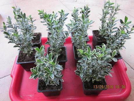 Japonský bršlen zelenobiely cca12cm/ mrazuvzdorný ,
