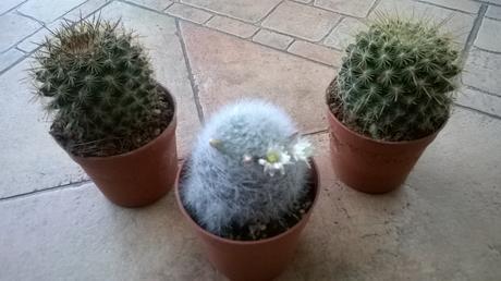 kaktus Piccaso,