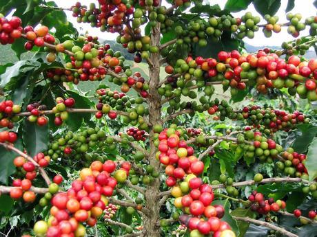 Káva arabica štiepok ,