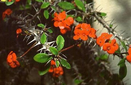 Kristova koruna červené kvitnutie cca 5mesač.štep,