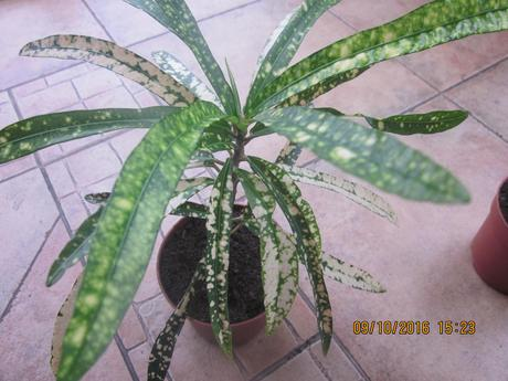 Kroton izbovy kvet /zelenožltej farby ,