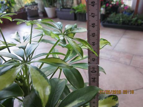 Nádherná  schefflera zeleno/žltá výška 47cm 5ročná,