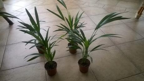 Palmička s bambusovym kmienkom areca lutescens ,